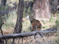Saw this bobcat near Badger Well.