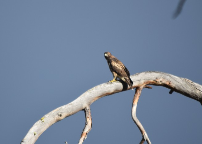 Good light on this redtail.