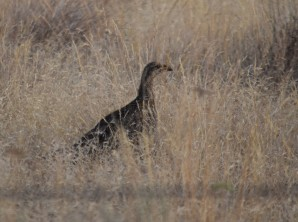 Decided this must be a hen sage grouse.