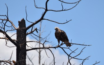 Had to check with my hawk expert Joe DiDonato to figure out what type of hawk this is. Swainson's