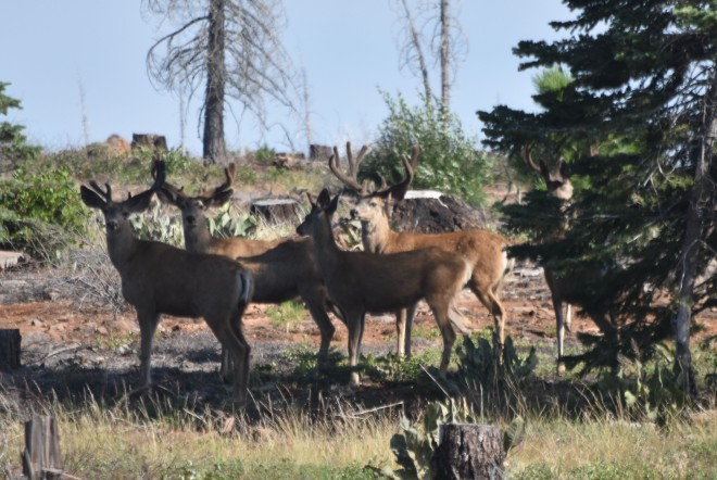 bucks in northeast Devil's Garden