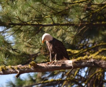 DSC_0022[1] bald eagle