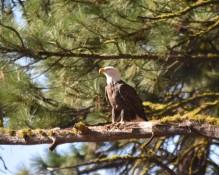 DSC_0024[1] bald eagle