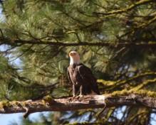DSC_0025[1] bald eagle