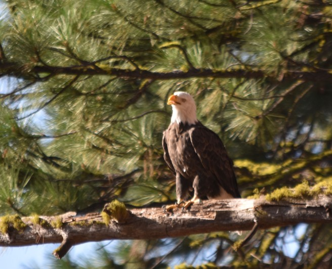 DSC_0026[1] bald eagle
