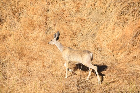 This doe has started turning gray. You can see her summer coat and winter coat giving her a mixed coloration.