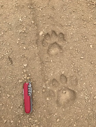 This photo showes a front and rear paw imprint. Normally cats step directly on top of the previous footstep. Because the slope was steep and the cat was taking small steps, it left a clear print of individual steps making the prints that much more special.
