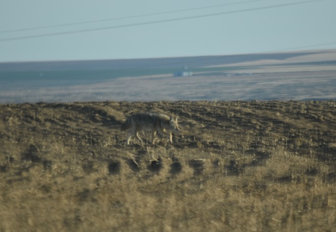 coyote DSC_0062[1]