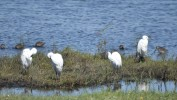 Snowy egrets posed.