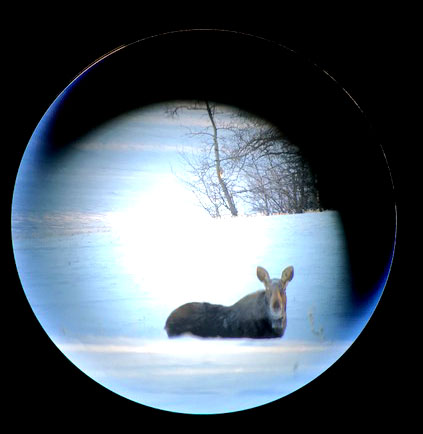 IMG_3814 Canada moose through Swarovski scope and Iphone adapter cropped and adjusted