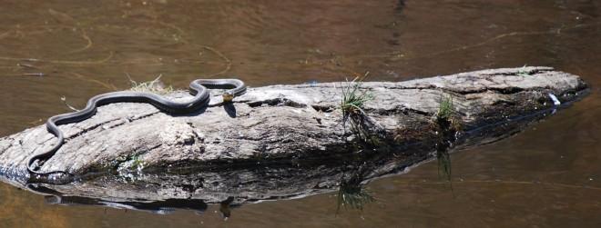 garter snake on log