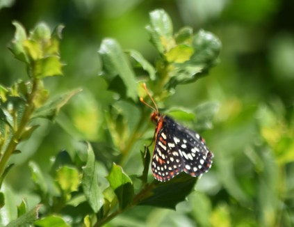 checkerspot butterfly DSC_0491