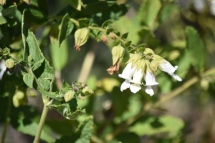 Pitcher sage has a great fragrance.