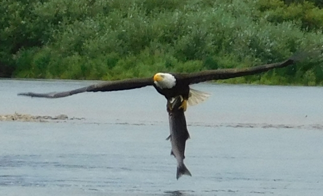 DSCN0137 eagle with salmon C&R