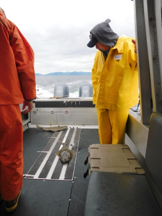 Halibut were found on the bottom in water 100-250 feet deep.
