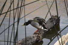 This mallard didn't want to leave his resting place, but he did.