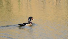 From the truck, this photo came out a bit unclear, but wood duck photos are almost always beautiful. There were about 20 wood ducks on the pond. A sign that waterfowl are moving around.