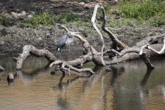 This is a favorite perch for water birds.