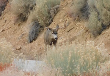 This buck walked across Onion Valley Road 75 yards in frot of us.