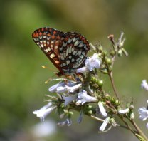 checkerspot butterfly 5-14-14