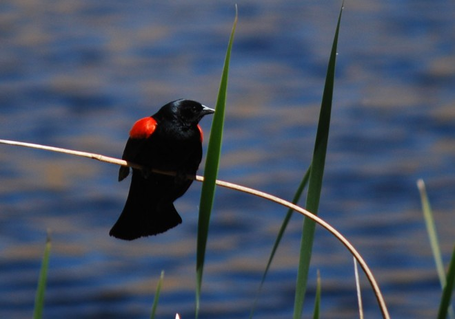 blackbird 6 CCSF pond 6-7-12