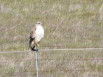 This ferruginous hawk posed for a photo.
