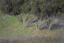This blacktail stepped into the brush and disappeared.