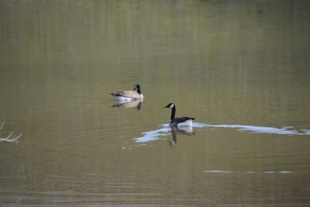 These are probably resident Canada geese.