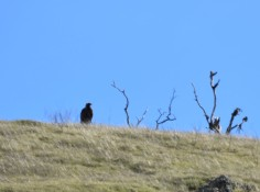 When I got to the next gate, this eagle watched me from over the ridge.