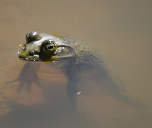 DSC_0853 bull frog cropped