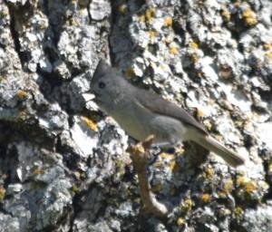 DSC_0859 plain titmouse cropped