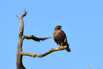 This is a dark-morph redtail.