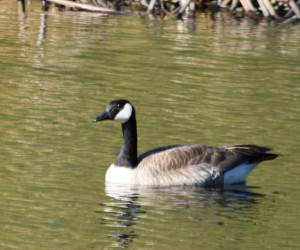DSC_0915 Canada goose cropped