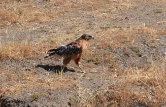 red-shouldered hawk cropped