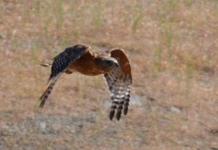 red-shouldered hawk flying 7-2-14 cropped