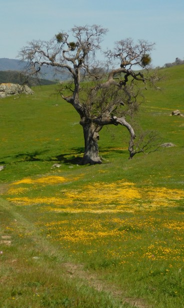 Old oak with gold fields.