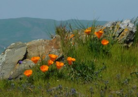 Poppies and rock outcrop