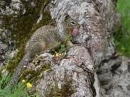 ground squirrel mother DSC_1006