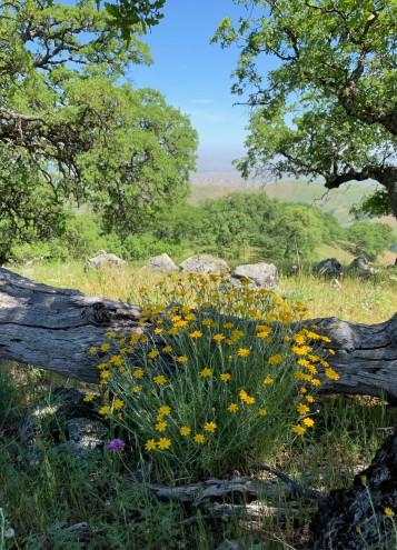 Unnamed Wildflower with oak backdrop.