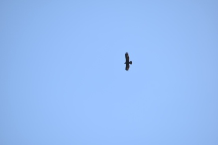 Golden eagle soaring.