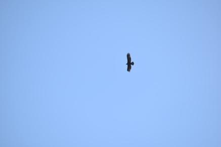Golden eagle soaring.