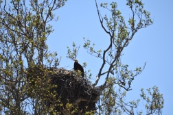 Bald eagle in nest.