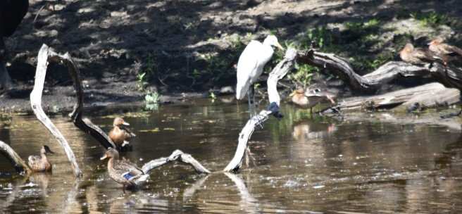 This egret and a brood of mallards posed at one of the ponds along Ranch Road.