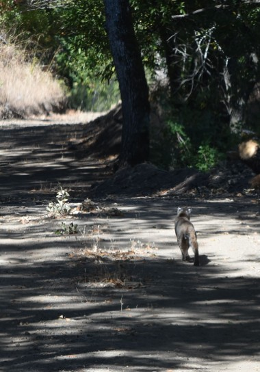 This young bobcat ran down the road ahead of me on the way home.