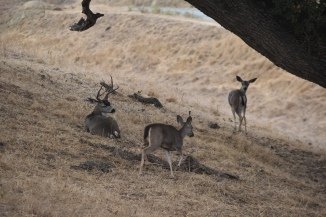 This buck was hanging with a couple does along the road to the ranch. Rutting.